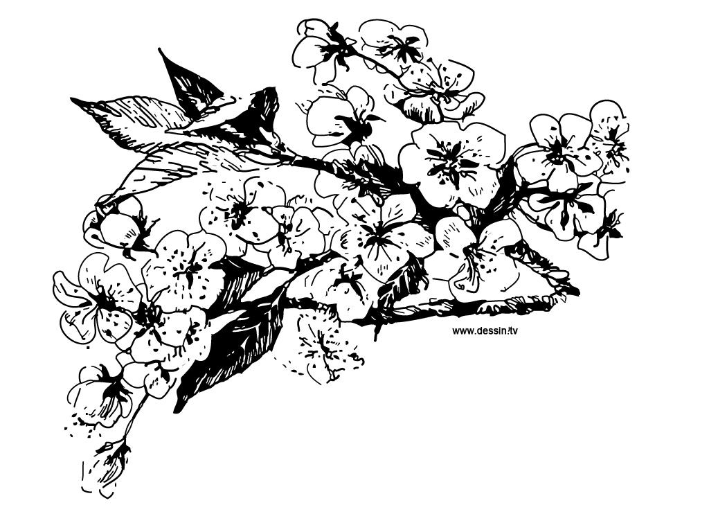 Coloriage fleurs de cerisier - Dessin fleur de cerisier ...