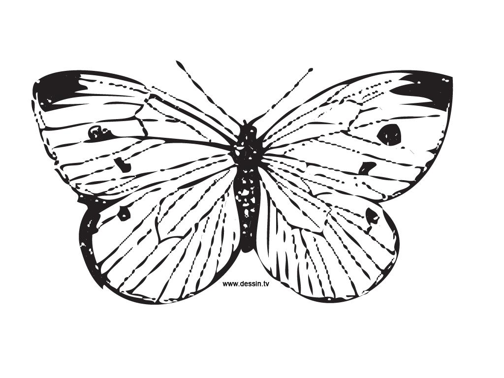 coloriage papillon-ailes-écartées