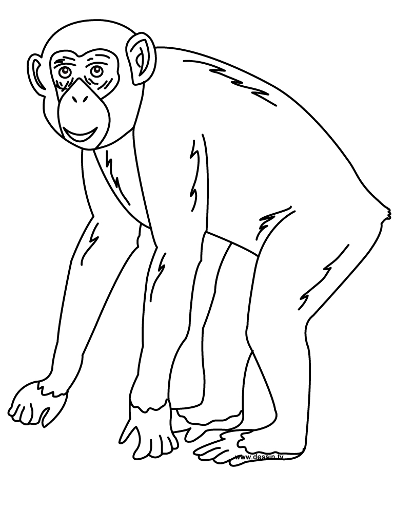 coloriage chimpanzé