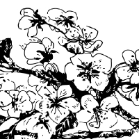 Coloriage fleurs de cerisier